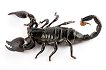 Scorpion - Isis